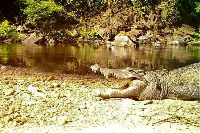 2nd time in decade endangered Siamese crocodile makes appearance