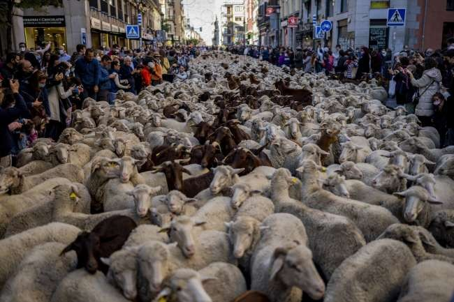 Sheep heading to winter pastures supplant cars on Madrid streets